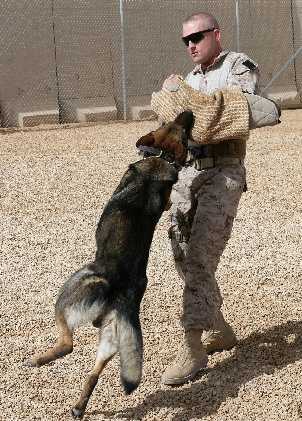 Military working dogs bite into their mission in Iraq