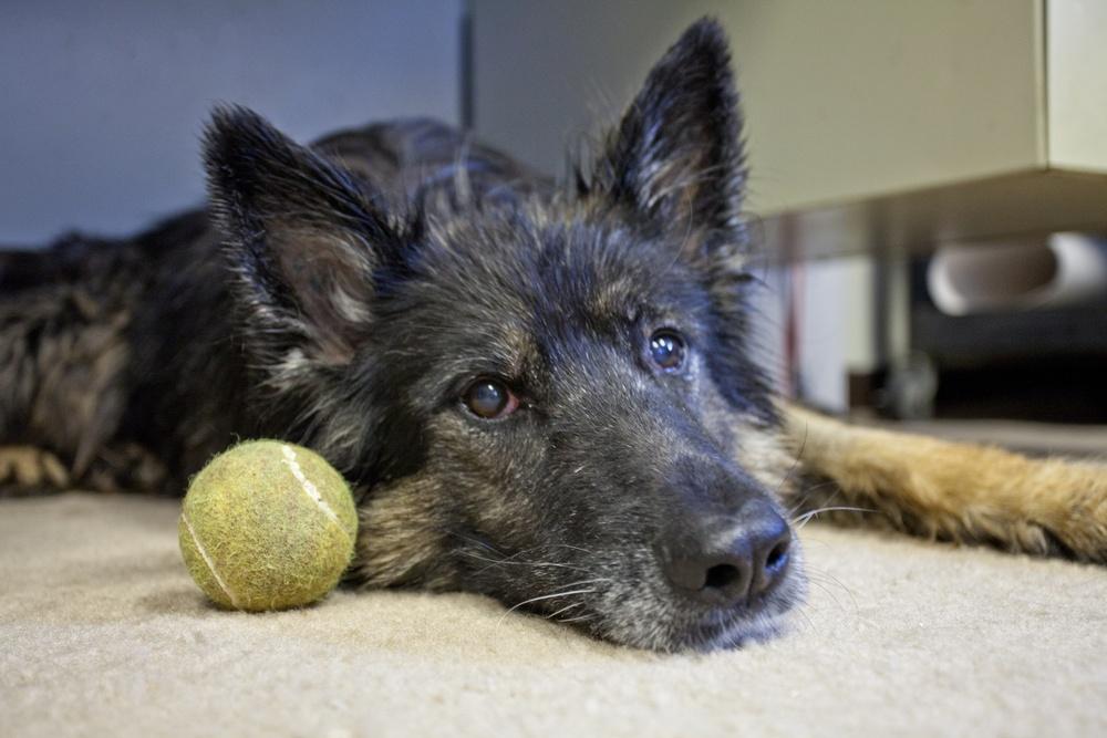 Military working dog bids farewell to working life
