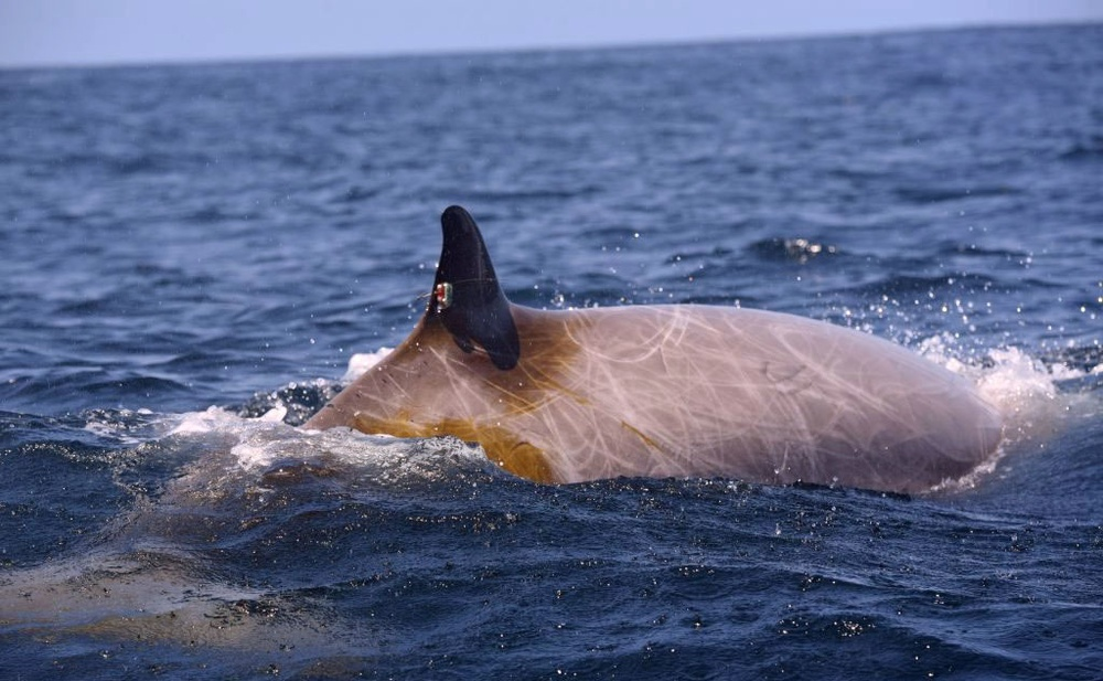 Navy and Scientific Partners Monitor Migrating Whales