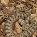 Watch for venomous critters of the Mojave Desert