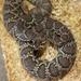 Watch for venomous critter of the Mojave Desert