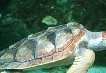 NUWC Division Newport team develops new model for estimating abundance of loggerhead turtles in the Mediterranean