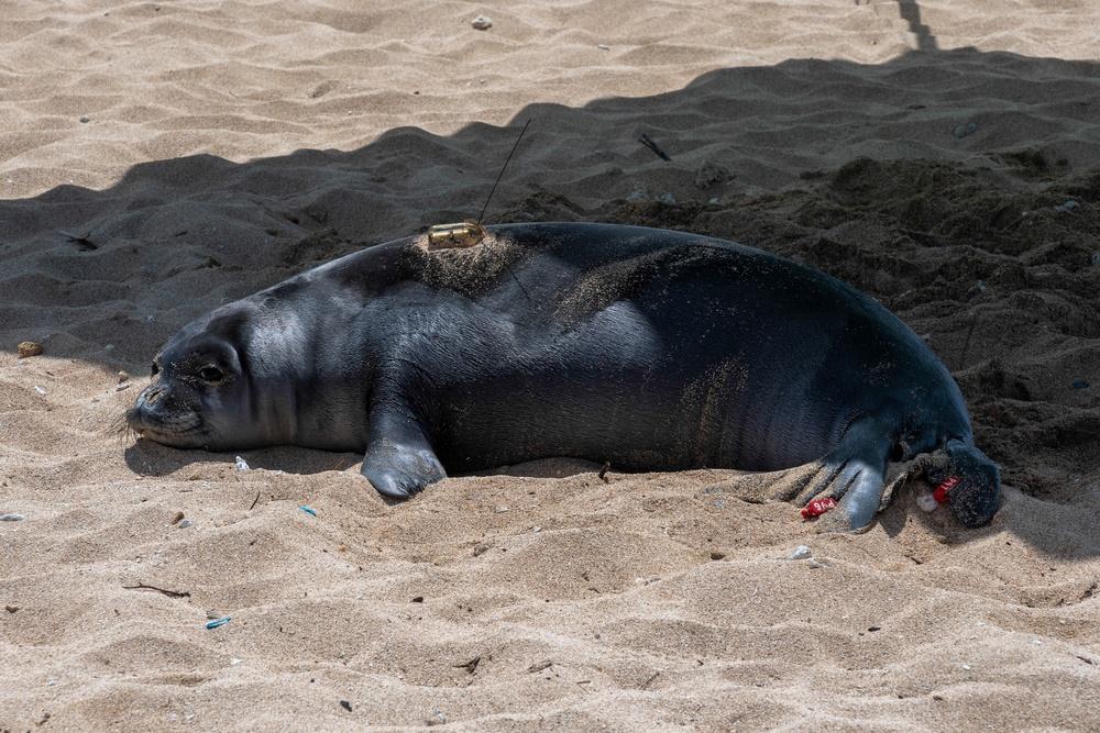 Monk seals take MCBH